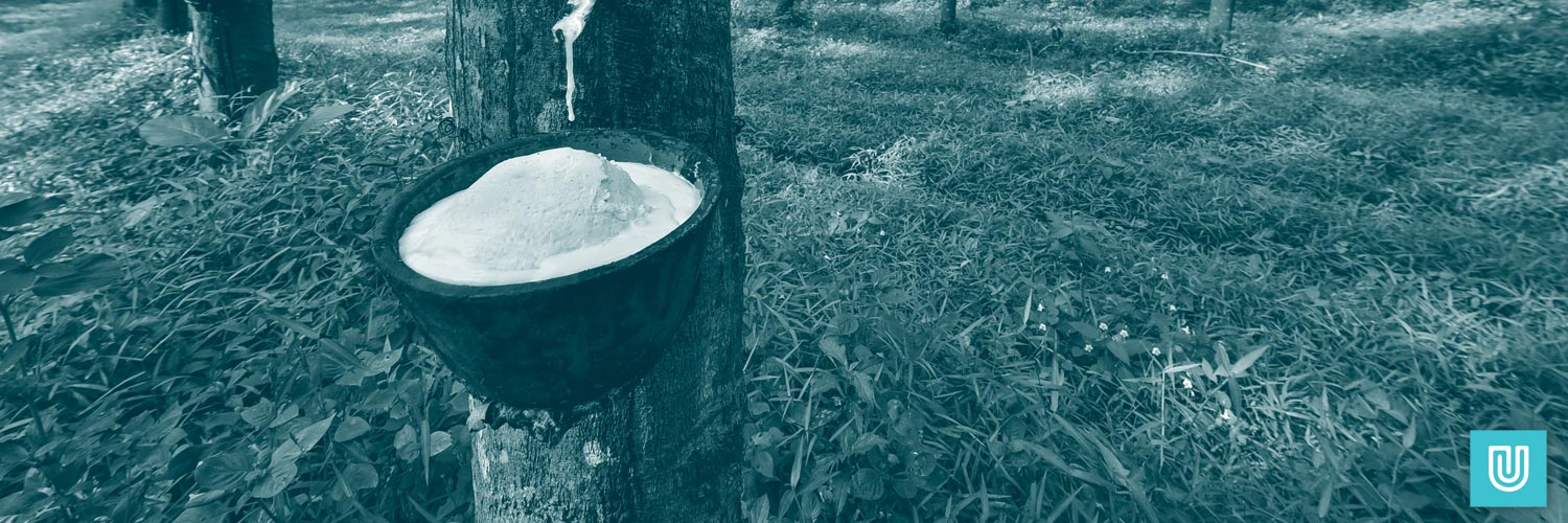 Rubber tree being sapped as part of the latex glove manufacturing process.